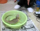 【ニコニコ動画】風呂に入るうちのフトアゴヒゲトカゲを解析してみた