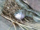 ヘビのお食事シーン。 thumbnail