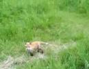 仔狐の一人立ち