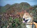 柴犬と登山 大源太山1.598m