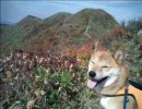 柴犬と登山 大源太山1.598m thumbnail