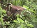 ロスリャノスの湿地帯に棲むカピバラさん(サファリツアー)