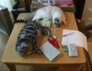 勉強の邪魔をする猫