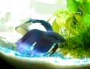 ベタな熱帯魚始めました。 thumbnail
