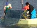 有明海のノリ種付けと収穫