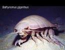 【ニコニコ動画】ダイオウグソクムシ(深海音楽シリーズvol.08)を解析してみた