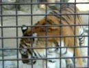 とある動物園のトラ