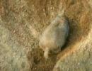 動物園のプレイリードック
