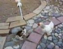 うさぎのけんかを鶏が仲裁 thumbnail