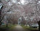 続・本日の弘前公園の桜
