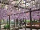 尾張津島の藤祭り