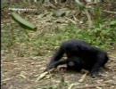 【ニコニコ動画】ボノボの性行動(BGM付ver)を解析してみた