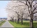 初音ミクが歌っていた 【桜の雨】 を 歌ってみた