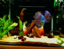 熱帯魚水槽 thumbnail