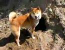 柴犬ジローは穴が好き!えっ何の穴?