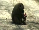 ヒヒがインパラを捕食。