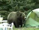 クマさん二頭、キャンプ地を荒らす。