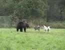 【ニコニコ動画】犬vsクマ ハンデキャップマッチを解析してみた