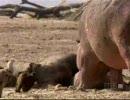 カバがバッファローの死骸を食ってたら・・・・