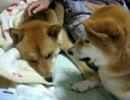 【ニコニコ動画】犬も喰わない事を犬がやりましたを解析してみた