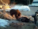 民家のそばでクマがヘラジカを狩る。