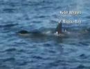シャチがイルカを襲う