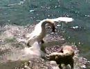 【恐怖】白鳥が犬に襲い掛かる【衝撃】