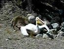 【ニコニコ動画】【因果は巡る】ペリカン、コヨーテに食われるを解析してみた