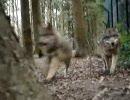 狼の通り道に隠しカメラ。