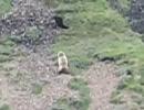 クマさん、ワシに狙われて逃げる。