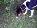 犬がネズミを追う、そして食べる