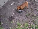 犬、でかいリスを食べてます