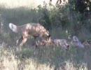 リカオンがレイヨウを捕食