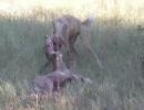 続・リカオンがレイヨウを捕食
