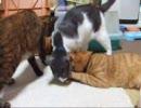 ニャンコとオムツ犬~猫と遊びたい子ワン~