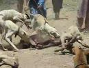 イノシシ狩りの猟犬たち
