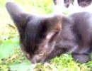 【子猫】ノラ子猫ネズミを食う
