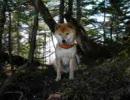 登山犬ジロー(柴犬) 皇海山2.144m(百名山)