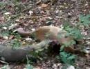 コモドオオトカゲ、生きてるシカを食う