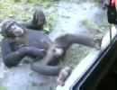 【ニコニコ動画】チンパンジーだから許せるを解析してみた