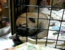 柴犬の赤ちゃんがなんかしたがってます 2 thumbnail