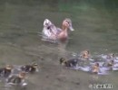 佐賀市城内の多布施川に現れたカモの親子