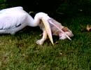 ペリカンが寝ている犬を食おうとする