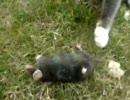 猫がモグラ捕まえたよ