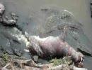 カバの死骸にワニが集まってきた
