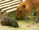 ネズミ(大) ネズミ(小) 仲良く餌を食べる