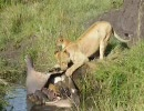 ライオンがカバを食べている