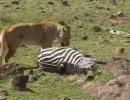 【ニコニコ動画】今、目の前でライオンがシマウマを狩ったを解析してみた