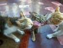 三匹の猫が肉の奪い合い