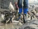 ペンギン動画 餌に群がるブルーペンギン